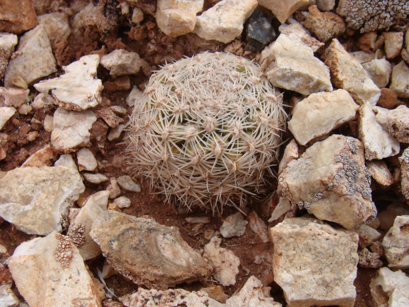 Pediocactus bradyii K-dsc388
