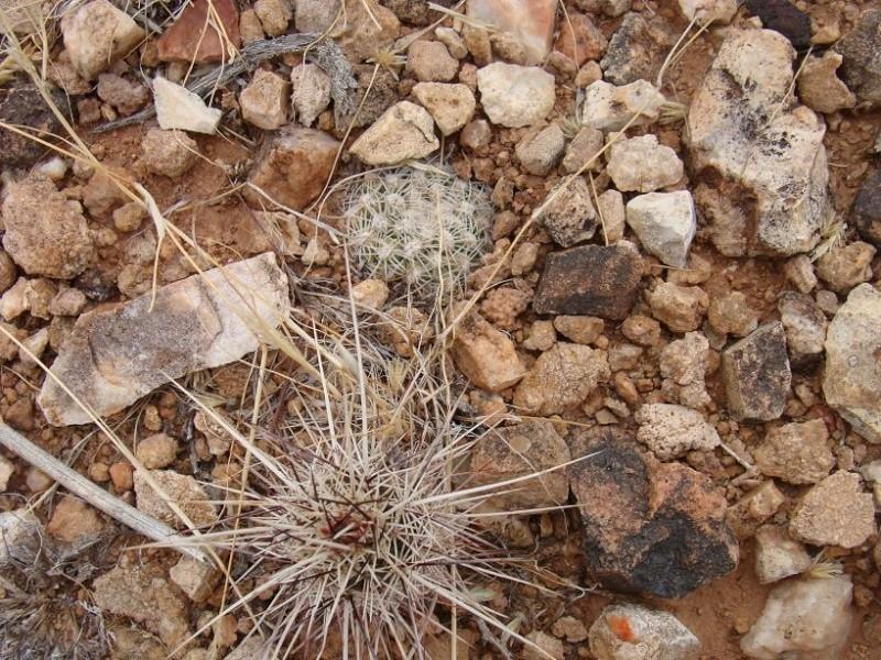 Pediocactus bradyii K-dsc391