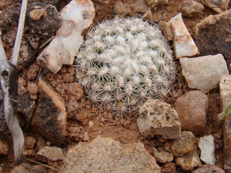 Pediocactus bradyii K-dsc395