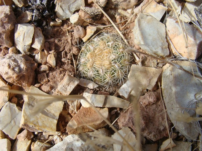Pediocactus bradyii K-dsc401
