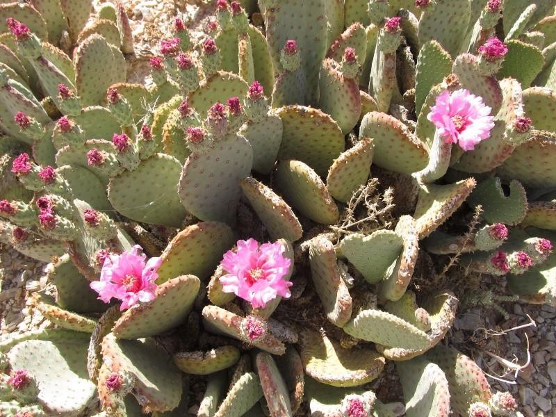 Opuntia basilaris var. basilaris K-img_77