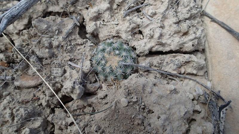 Pediocactus simpsonii K-p42820