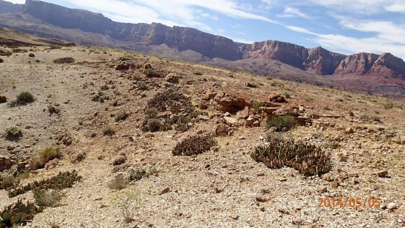 Opuntia basilaris var. basilaris K-p50517