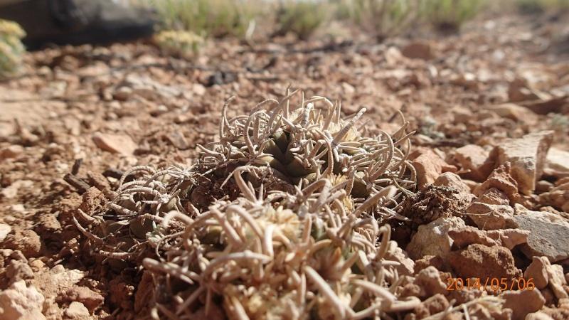 Pediocactus peeblesianus ssp. fickeisenii  K-p50618