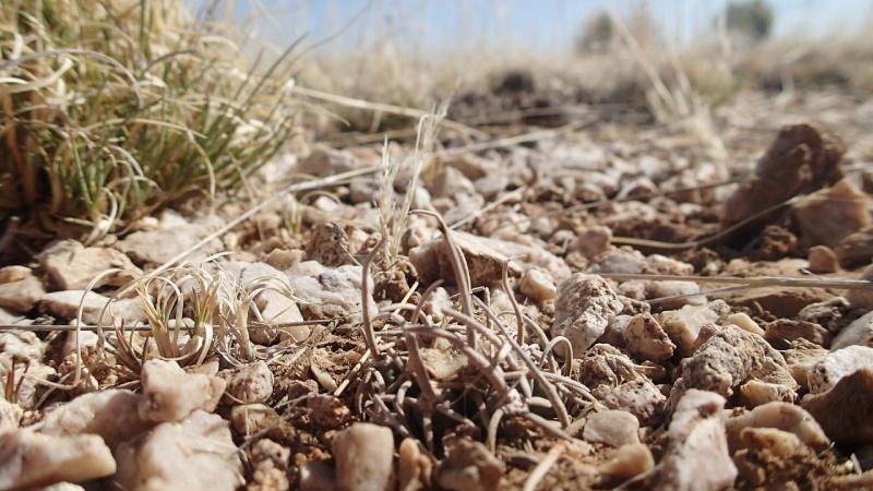 Pediocactus peeblesianus K-p50910