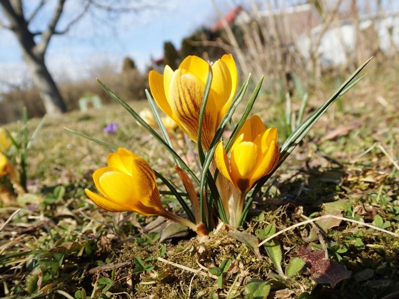 Schwertliliengewächse: Iris, Tigrida, Ixia, Sparaxis, Crocus, Freesia, Montbretie u.v.m. - Seite 4 P3093513