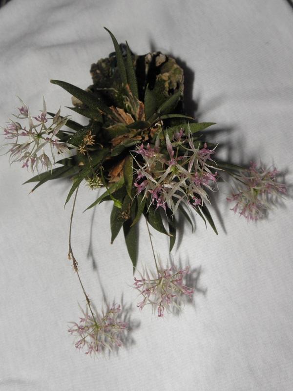 Miniatur-Orchideen 2. Teil - Seite 6 P2270015