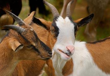 Les OGM affectent le développement des chèvres... 15021710