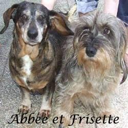 volees !!!! Abbee et Frisette teckel de 8 et 13 ans / Association croc blanc  - 63 Abbee_10
