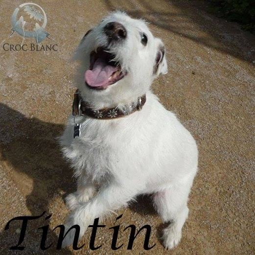 TINTIN - parson russel terrier 11 ans - Asso Croc Blanc (69) Tintin10