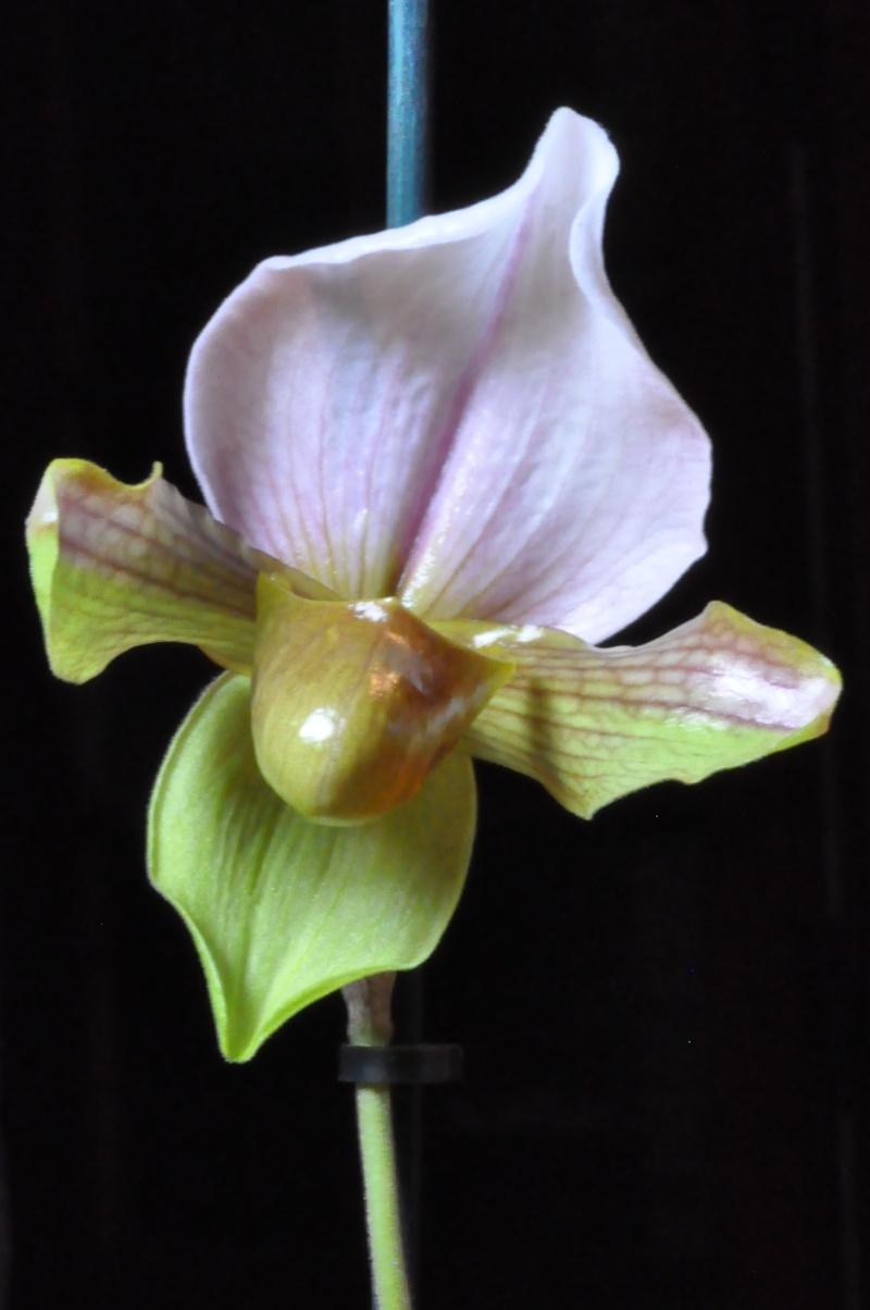 Paphiopedilum hybride Dsc_3814