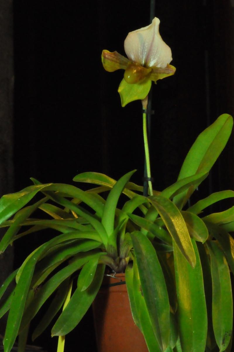 Paphiopedilum hybride Dsc_3816