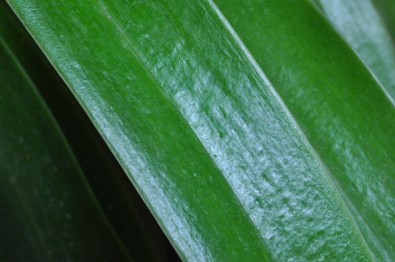 Paphiopedilum hybride Dsc_3817