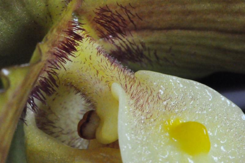 Paphiopedilum hybride Dsc_3819