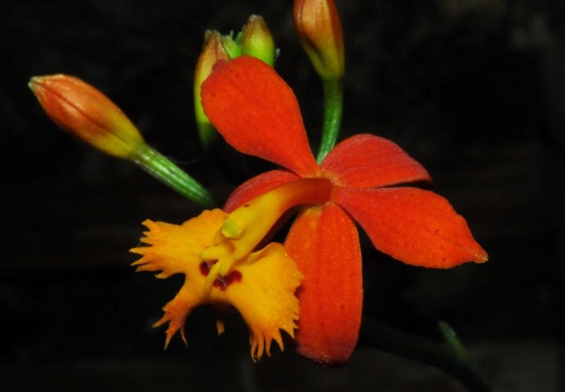 Epidendrum radicans Epiden10