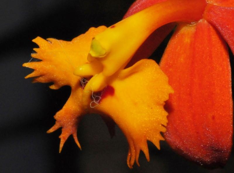 Epidendrum radicans Epiden12