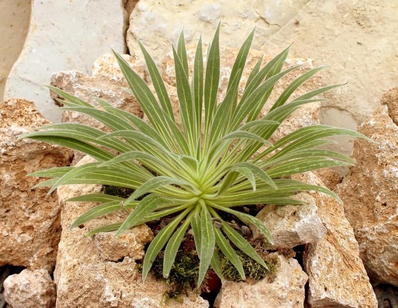 Echium wildpretii - Seite 3 Echium10