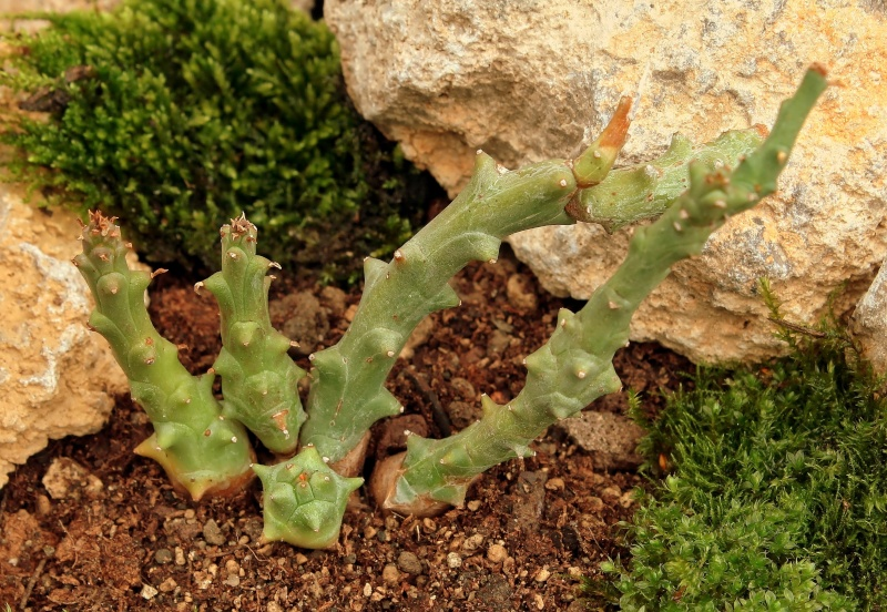 Euphorbia tridentata Euphor10