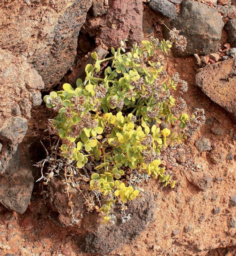 Polycarpaea carnosa Polyca10
