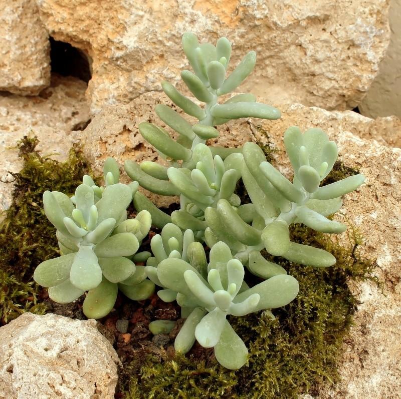 Sedum allantoides Sedum_11