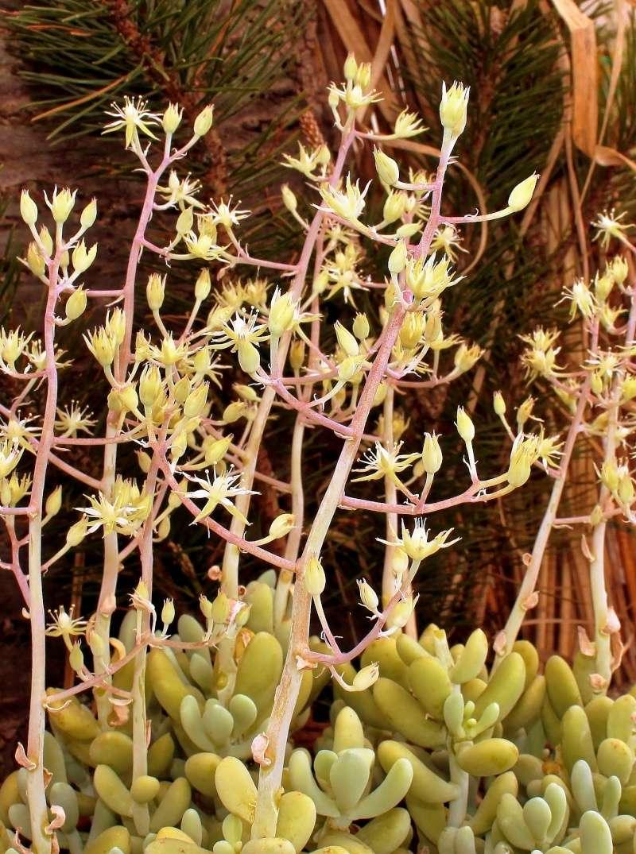 Sedum allantoides Sedum_12
