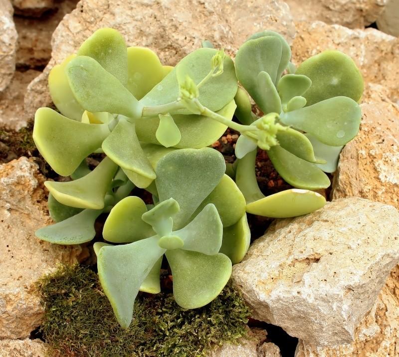 Sedum allantoides Sedum_17