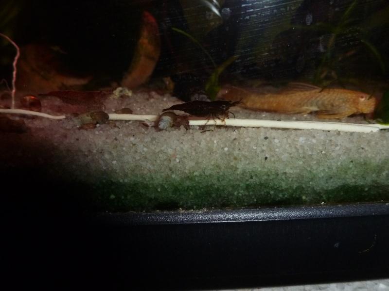 mes crevettes P1050523