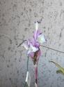Tillandsia purpurea P1100014