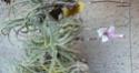 Tillandsia purpurea P1100015