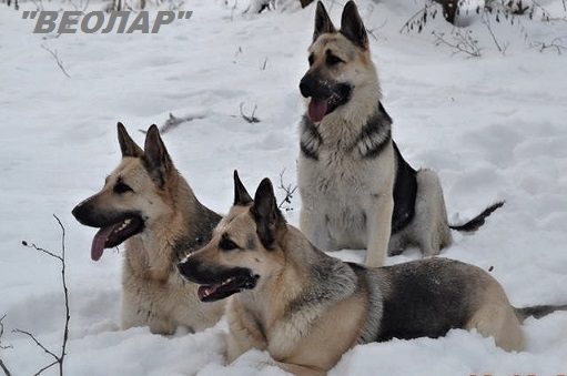 The East European shepherd kennel our breed in Lithuania Editor24