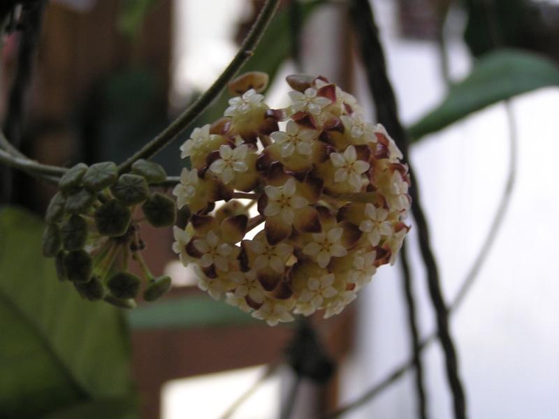 Nouvelle floraison de mon finlaysonii et la suite.... Finlay10