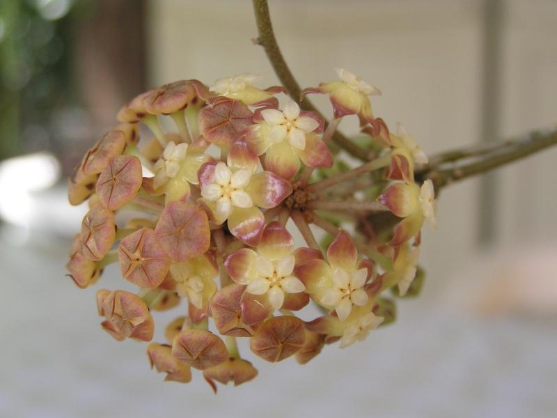 Nouvelle floraison de mon finlaysonii et la suite.... Finlay11