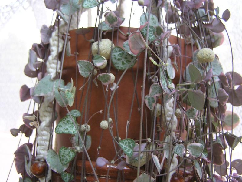 mon ceropegia woodii ...petite bouture devenue grande P4240510