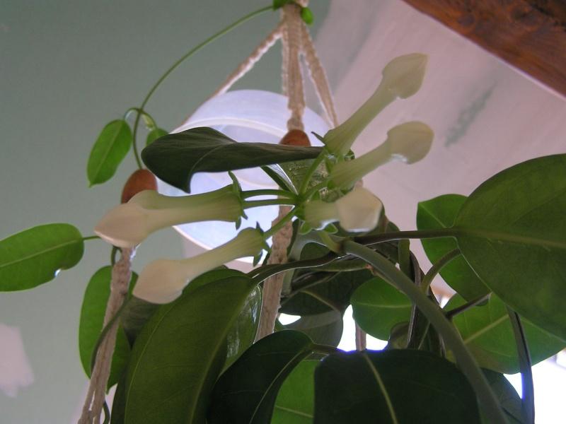 quelques promesses : multiflora, finlaysonii, bella et stephanotis P5260510