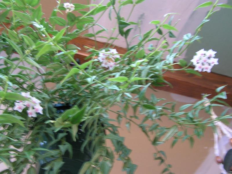 quelques promesses : multiflora, finlaysonii, bella et stephanotis P5260511