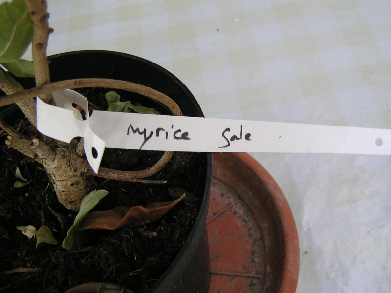"""Avis aux Québecois  : Connaissez-vous """"Myrica gale """" ou myrica baumier P5310511"""
