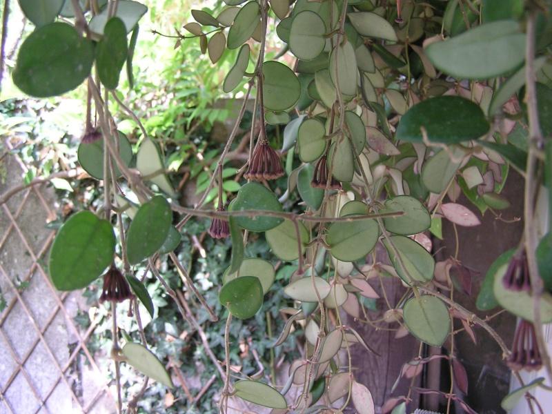 Ma nouvelle installation de hoyas dans la véranda extérieure P6030514