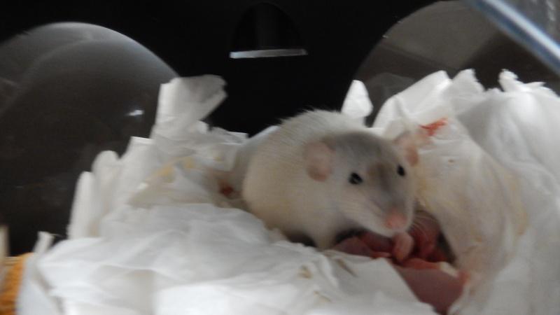 Ratte allaitante mordeuse Dscn0212