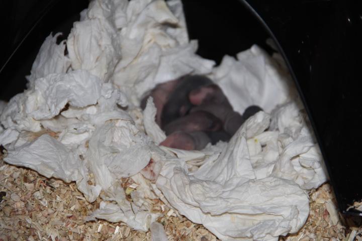 Ratte allaitante mordeuse Img_2013
