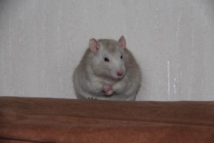 Ratte allaitante mordeuse Img_2014