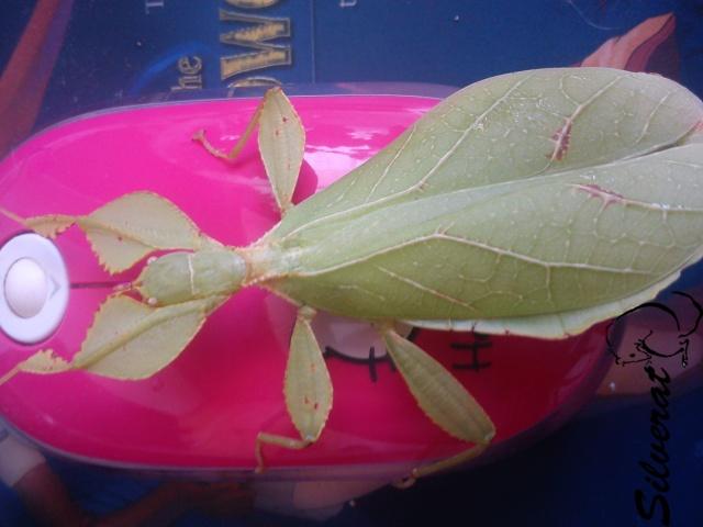 Phyllium philippinicum Dsc01911
