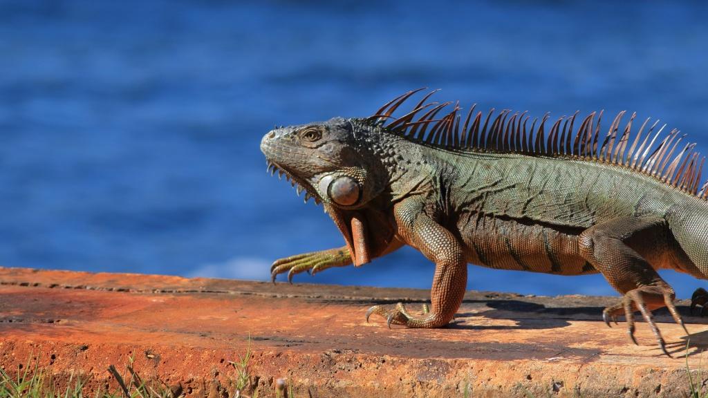 Iguane et alligator Iguane10