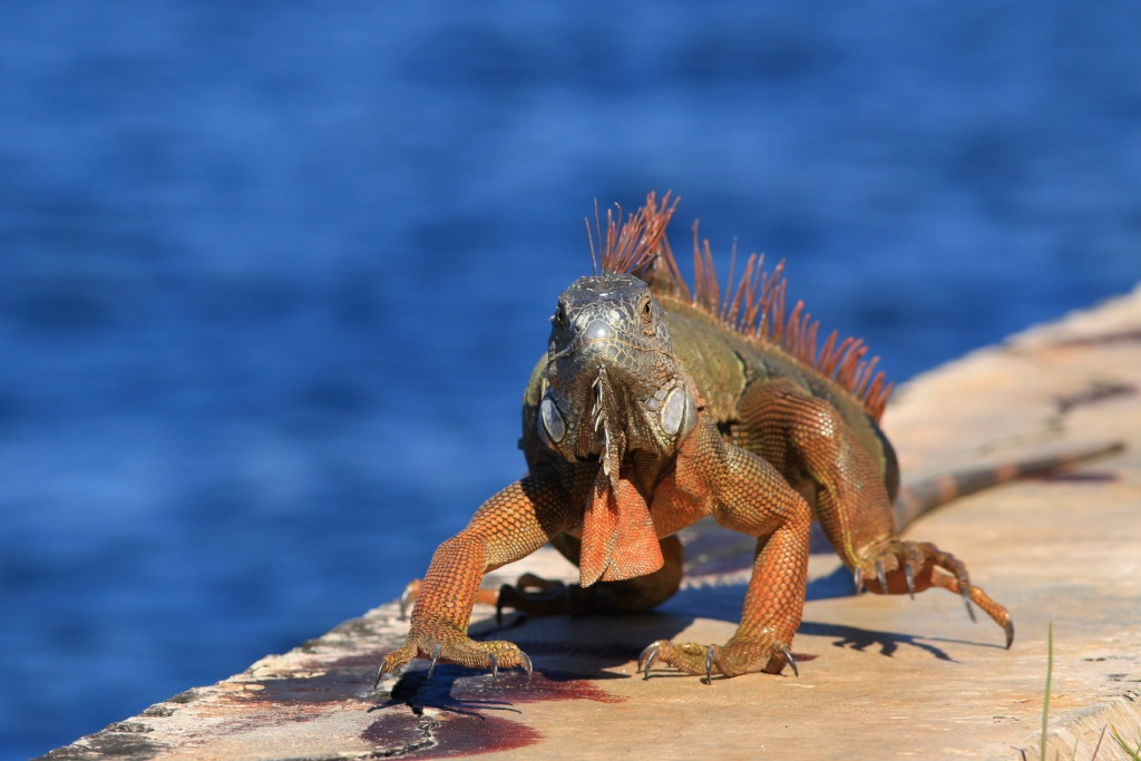 Iguane et alligator Iguane11
