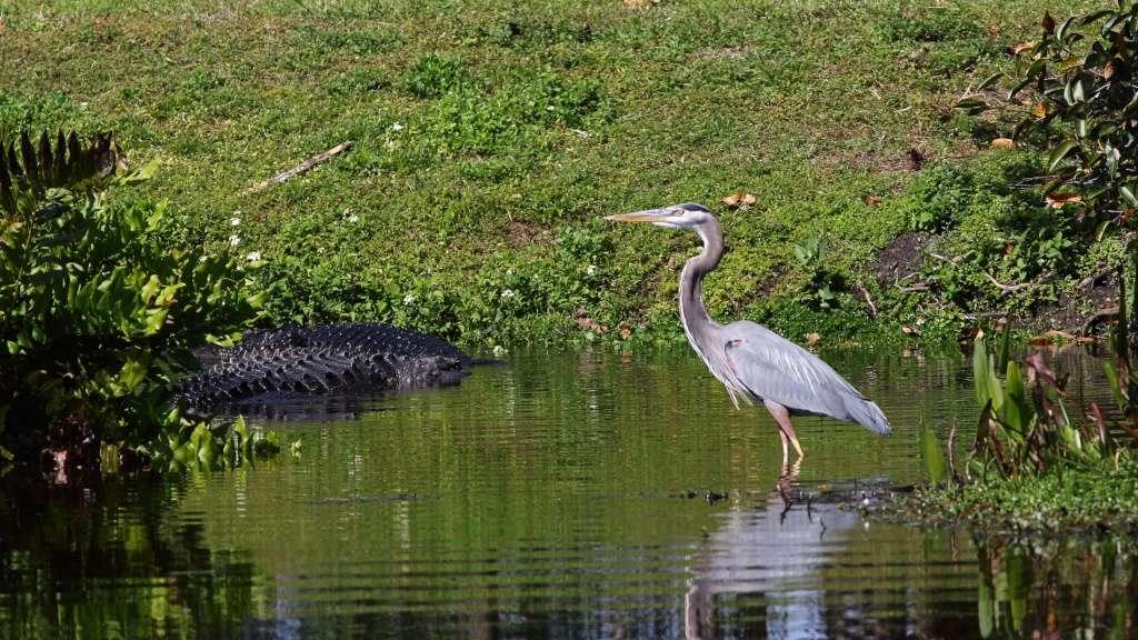 Iguane et alligator Img_1210