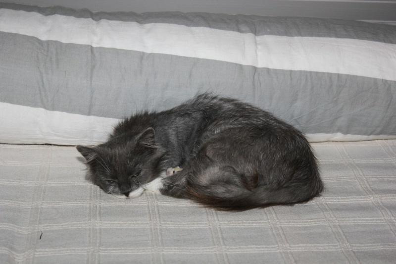Jokari, femelle type européen grise et blanche née le 1er mai 2014 - Page 5 Img_0211