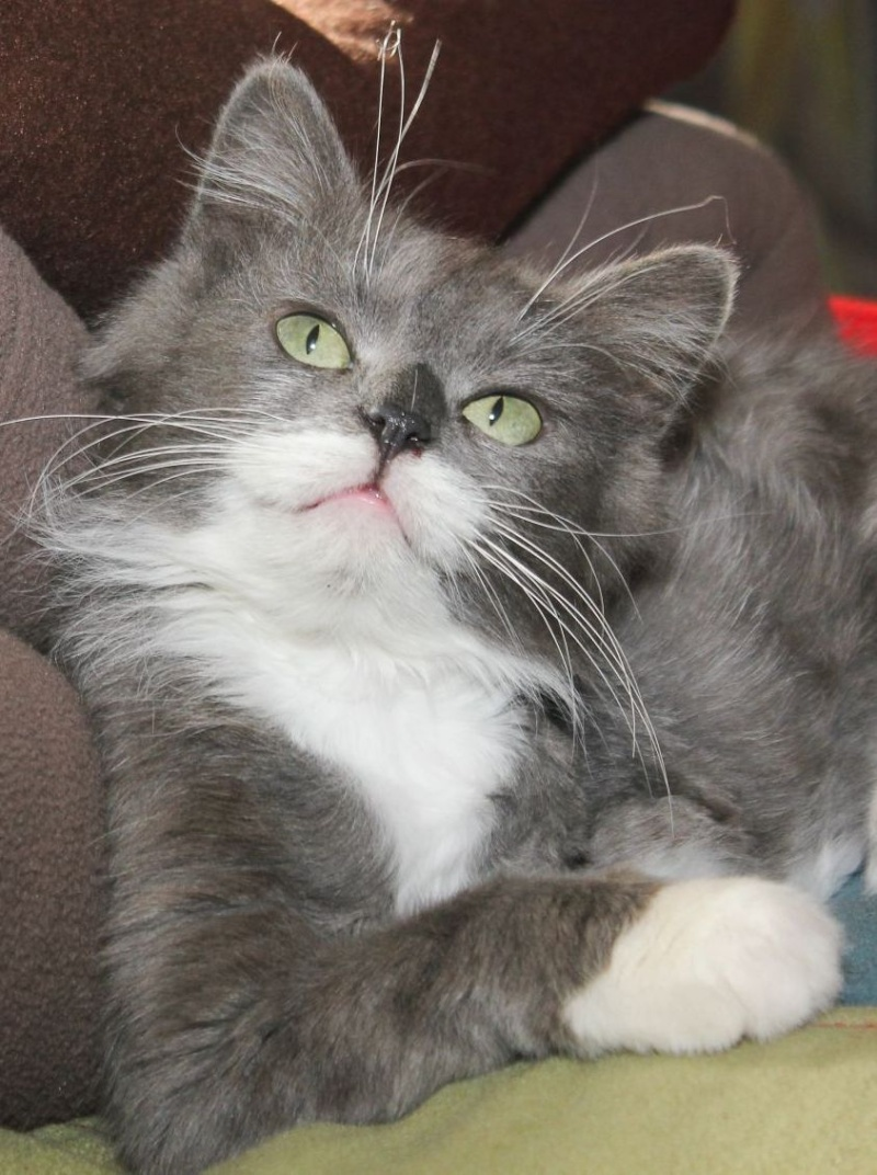 Jokari, femelle type européen grise et blanche née le 1er mai 2014 - Page 6 Img_0327