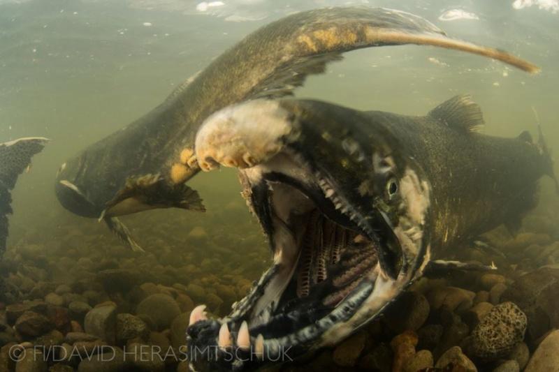 Fishipédia, encyclopédie d'aquariophilie par l'image - Page 5 Saumon10
