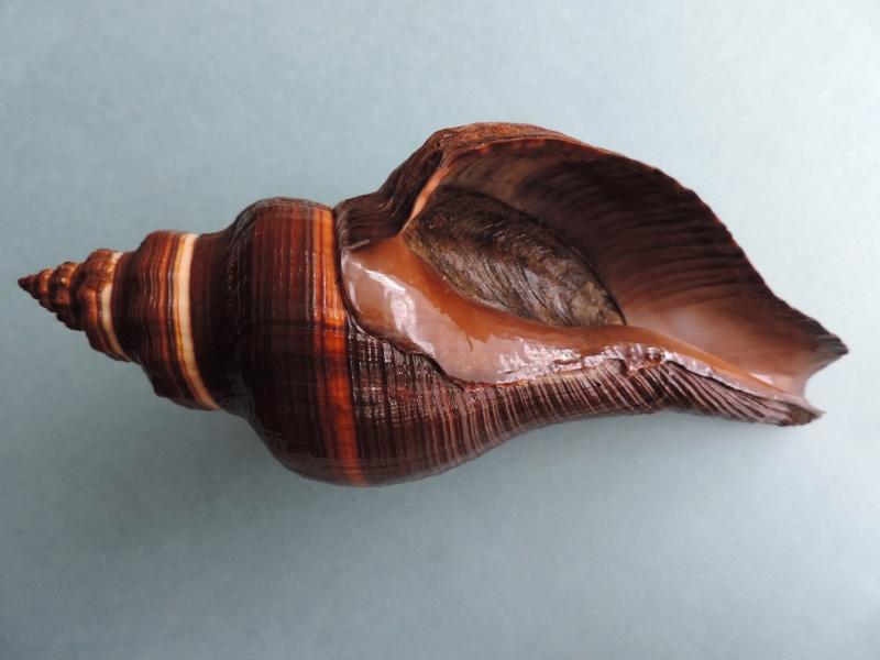 Pugilina morio - (Linnaeus, 1758) Dscn1611