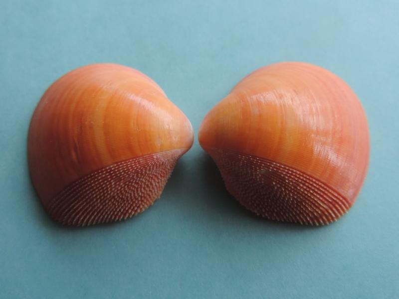 Nemocardium bechei - (Reeve, 1847)  Dscn1635