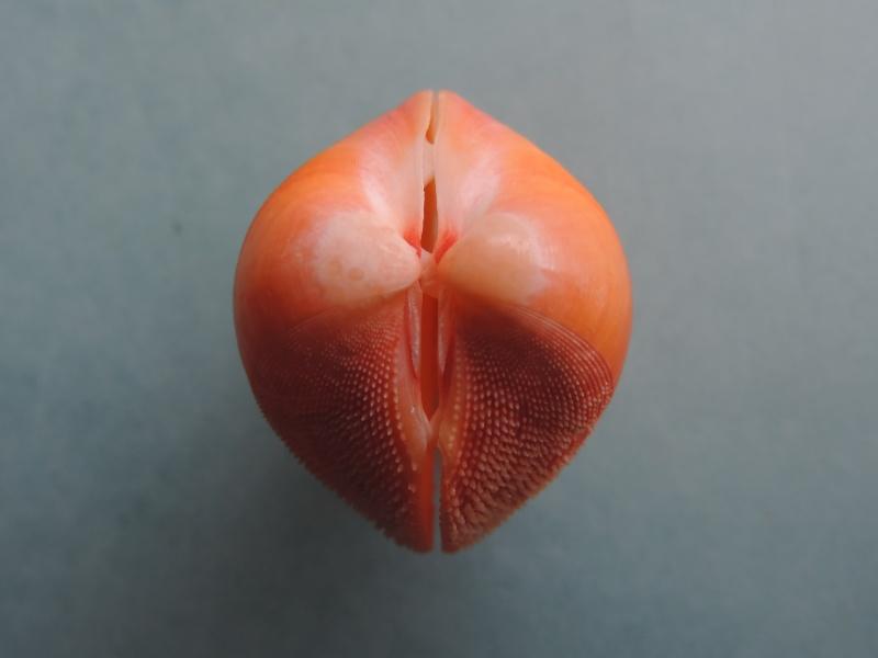 Nemocardium bechei - (Reeve, 1847)  Dscn1637